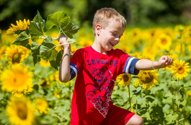 Six-year-old Darren Slott runs in a field of sunflowers at Thistleberry Farm on Monday in South Bend.