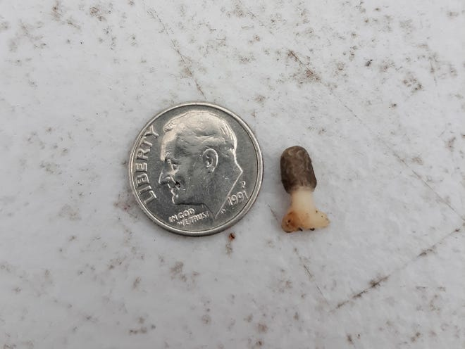 These photos of a tiny morel mushroom were emailed to the Spencer Evening World in April by Owen County resident Morgan Ruble. It may not have been the first morel of the season, but perhaps the smallest! Readers were reminded… Even during this time of social distancing due to the pandemic, you can still hunt your property for these tasty treats! (Submitted / Spencer Evening World)