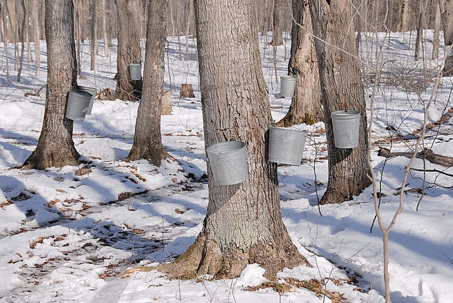 It takes 5 gallons of sap to produce just 16 ounces of real maple syrup. No wonder most of us just pour store-bought corn syrup over our waffles.
