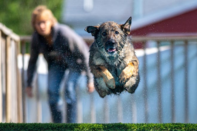 Vee Vee jumps into the pool Saturday during the the Michiana Diving Dogs Spring Fun Splash at Bunk & Biscuit in Niles.