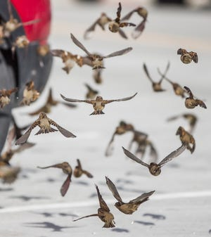 A flock of sparrows fly along Michigan Street in downtown South Bend on Friday.