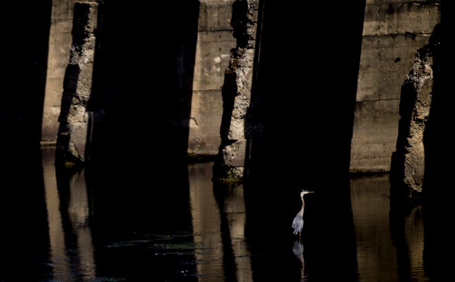 A great blue heron stands in the St. Joseph River near a pedestrian bridge at the Century Center on Wednesday in South Bend.