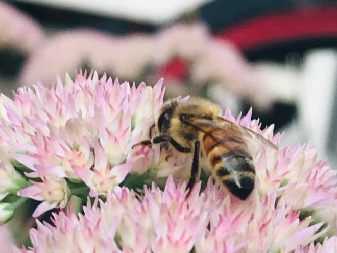 A honey bee is seen working on a flower. The pollen, beeswax and other nutrients created by bees are healthy for humans.