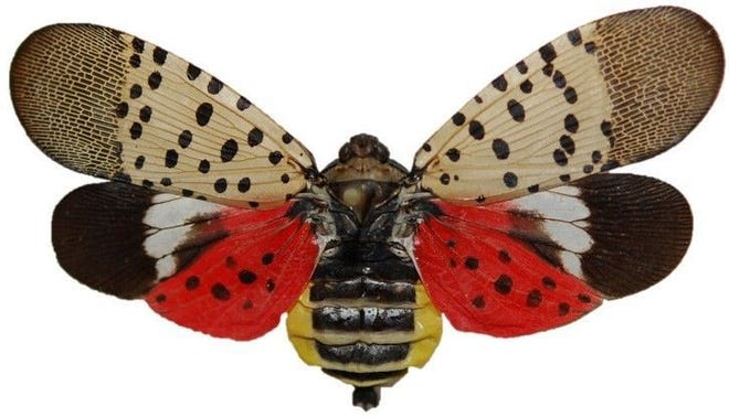 A spotted lanternfly adult.