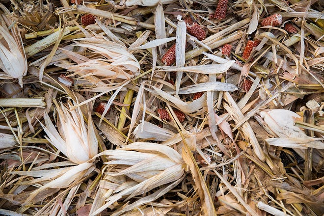 Frost covers the discarded cobs, stalks and husks lying in one of the Thyen farm fields in Waverly after harvesting dry corn on Oct. 30. (Public Opinion photo by Grace Ramey)