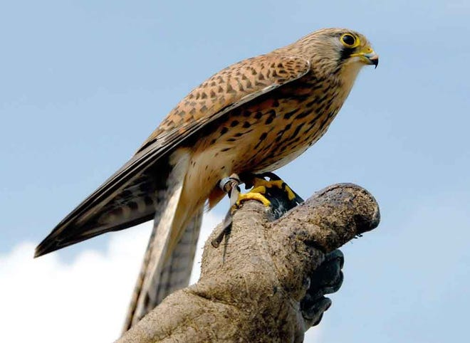 The American kestrel is the smallest species of falcon. It is shown perched on a gloved hand.