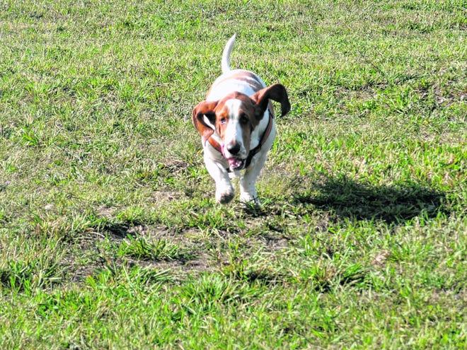 Bones runs through the large dog park area.