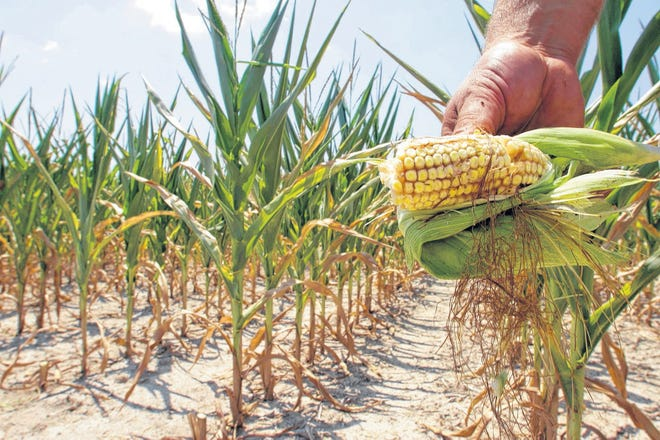 A farmer holds a piece of his drought- and heat-stricken corn while chopping it down for feed. Scientists have connected man-made climate change to extreme weather, including deadly heat waves and droughts.