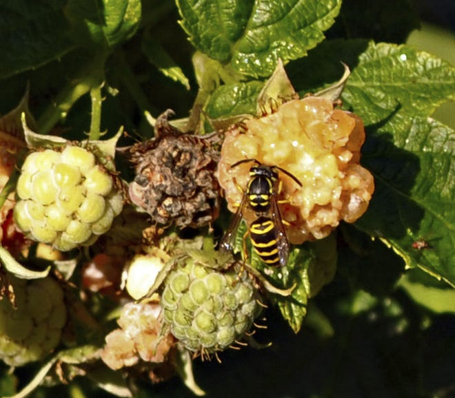 A yellow jacket is attracted to the sweetness of a golden raspberry in New Paltz, N.Y. Fall is the time to keep clear of the yellow jackets that are attracted to sweet things and meats.