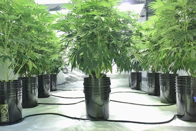 A commercial indoor hydroponic cannabis farm.