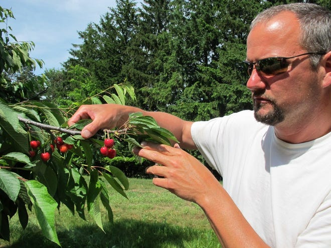 FILE —In this June 28, 2013, photo Patrick McGuire of Atwood, Mich., examines sweet cherries growing in his orchard. Michigan officials are seeking disaster relief from the federal government for farmers affected by adverse weather events which have taken place this year. (AP Photo/John Flesher)