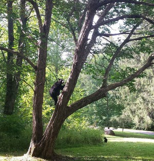 A female bear climbs a Chinese chestnut tree in the Twin Creeks area of Great Smoky Mountains National Park in Tennessee in this photo from September 2015.