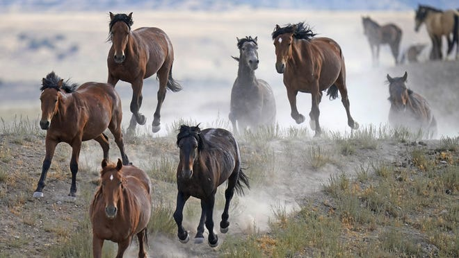 Free-ranging wild horses gallop from a watering trough on July 8, 2021, near U.S. Army Dugway Proving Ground, Utah. Mustangs from this herd were later rounded up as federal land managers increased the number of horses removed from the range during a historic drought. They say it's necessary to protect the parched land and the animals themselves, but wild-horse advocates accuse them of using the conditions as an excuse to move out more of the iconic animals to preserve cattle grazing. (AP Photo/Rick Bowmer)