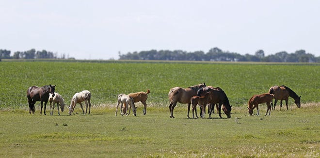 A small herd of horses graze in a pasture south of Bath, South Dakota.