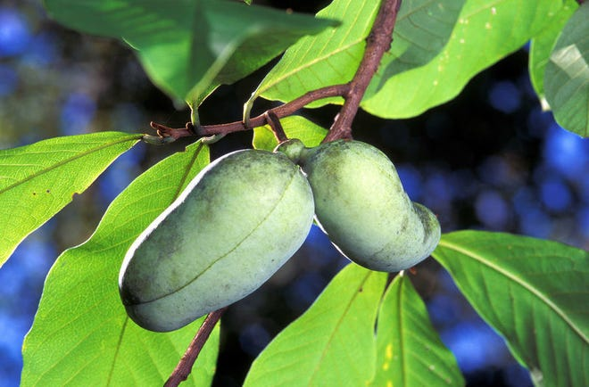 Pawpaw, the other native fruit