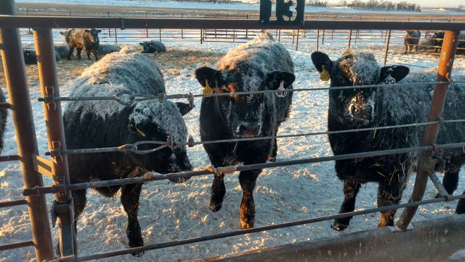 Many cow-calf producers are waiting until the end of this year to wean their calves.