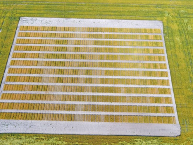 An aerial view of a wheat variety plot shows the multitude of varieties being tested. NDSU Photo