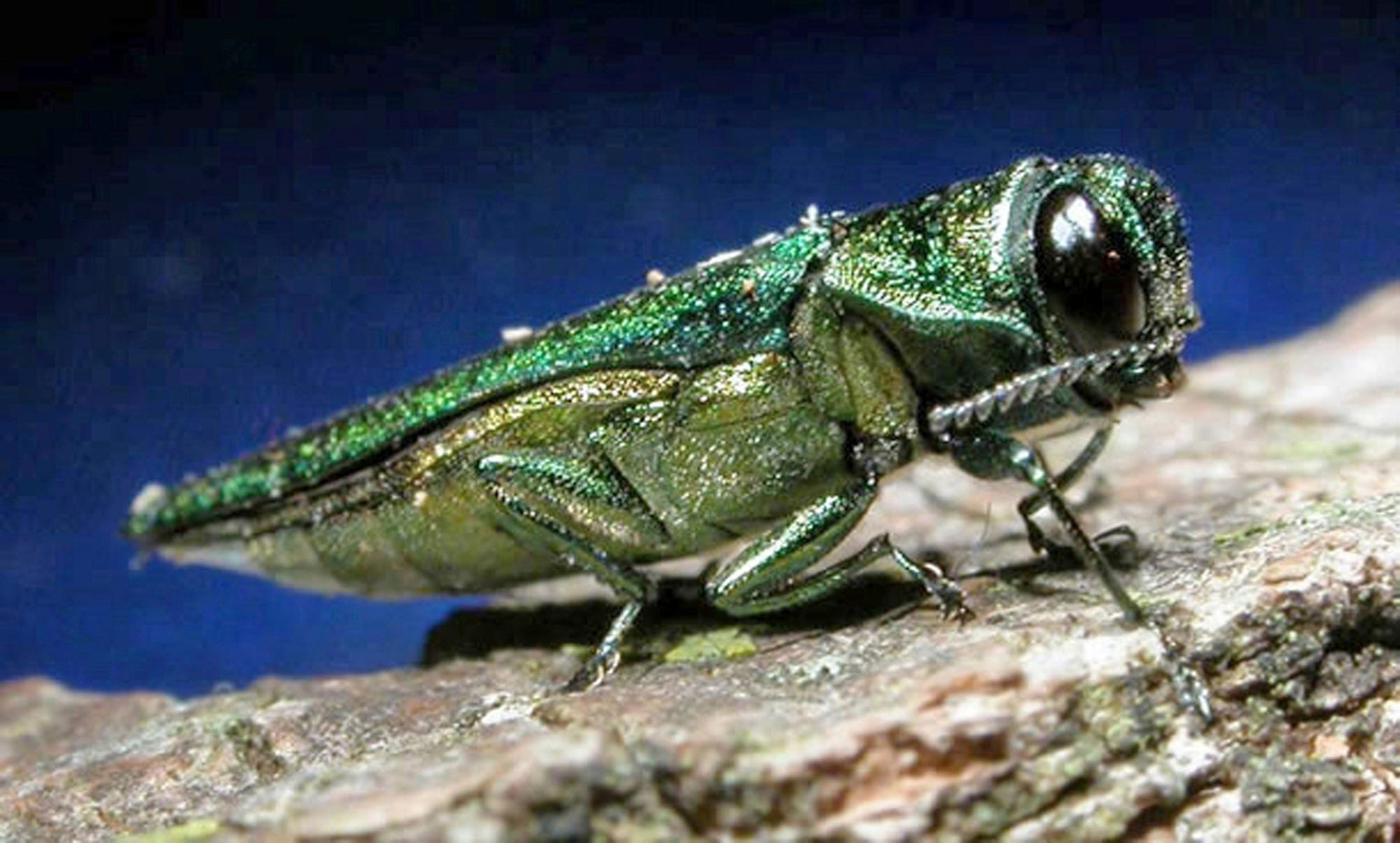 How Chuck Schumer plans to save our national pastime from the emerald ash borer