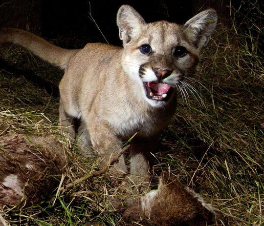 This photo released by the National Park Service shows a kitten, whose mother is a mountain lion identified as P-13, feeding on a kill in Malibu Creek State Park. The three of them spent two nights sharing their meal of mule deer.