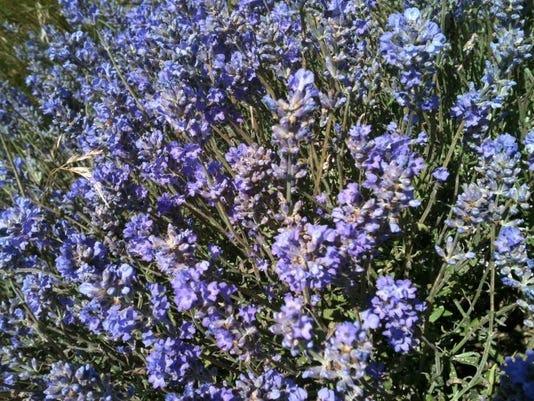 lavenderr.jpg
