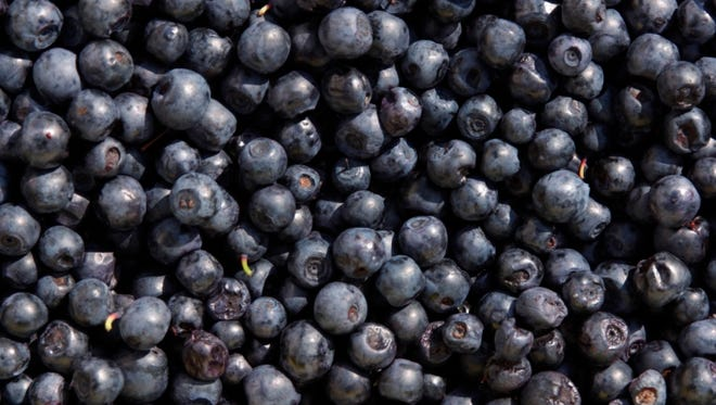 The blueberry harvest will be late but plentiful.