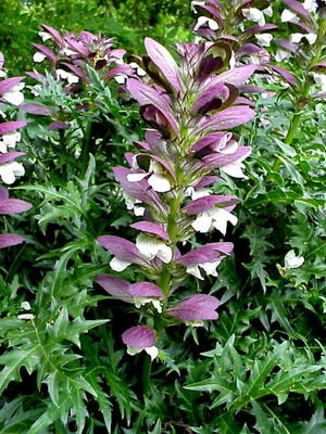 Spiny Bear's Breeches (Acanthus spinosus) blooms despite late freezes, hot humid summers and bitter winter cold
