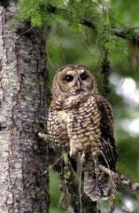 A northern spotted owl named Obsidian by U.S. Forest Service employees sits in a tree in the Deschutes National Forest near Camp Sherman, Oregon in 2003.