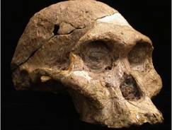 """Mrs. Ples"", the most famous example of Australopithecus africanus from Sterkfontein cave, South Africa."