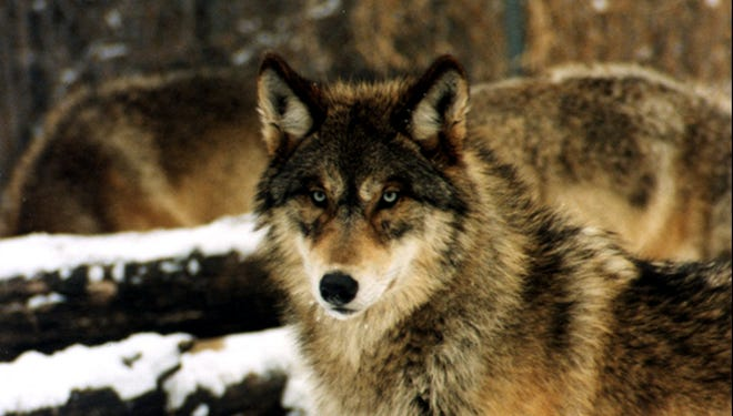 Wolves in the upper Midwest may be mixtures of Gray wolves and Eastern wolves.