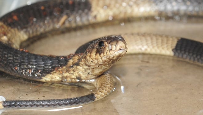 An Egyptian Cobra, like this one at the Bronx Zoo, got loose and bit a passenger on an Egypt Air flight this week.