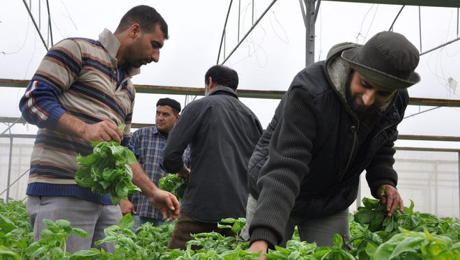 Farmers harvest basil in Rafah, Gaza Strip on Nov. 25, hoping they would be able to export the following day.
