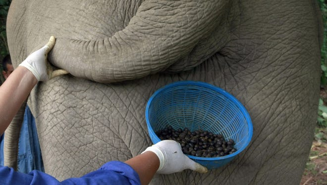 A Thai mahout's wife jokingly poses with a plastic basket containing coffee beans freshly cleaned from elephant dung below the tail of an elephant in Chiang Rai province, northern Thailand.