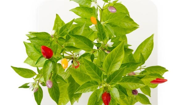 Click and Grow's electronic smartpots can grow a wide range of vegetables, including chili peppers, basil and tomatoes.