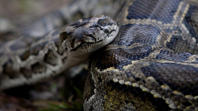 The 2013 Python Challenge gets under way Saturday, Jan. 12, 2013, in South Florida as more than 700 hunters will get a chance to cull the invasive species from the Everglades.