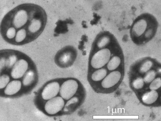 GFAJ-1 microbe