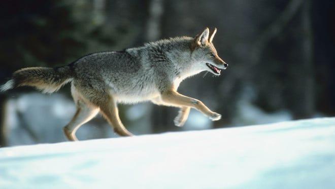 A Coyote runs through snow.