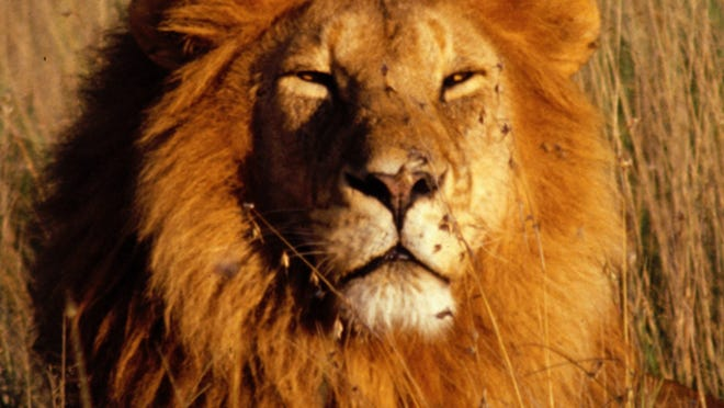 A male African lion