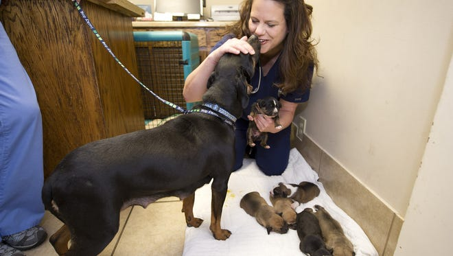 Dr. Catrina Herd of the Animal House Veterinary Clinic in Nashville, examines Mallory and her week-old puppies on Feb. 28. Mallory and the puppies were the subject of a dispute and are living now with a foster family.