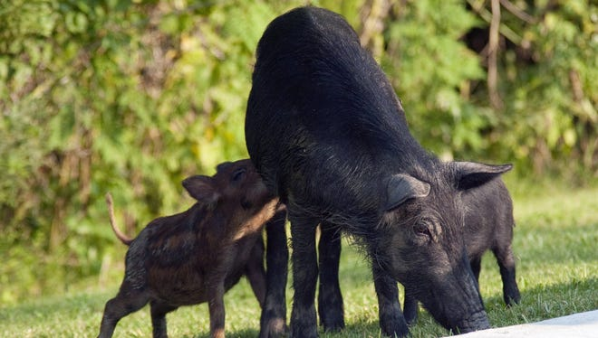 This undated photo provided by the U.S. Department of Agriculture Wildlife Services shows a family of pigs invading the Palmetto State Park's camp grounds in Abbeyville, La.