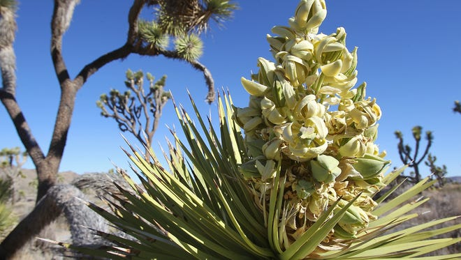 A Joshua tree in bloom at Joshua Tree National Park, Wednesday, April 10th, 2013.  The trees are having extraordinary blossoms this year throughout the American Southwest.
