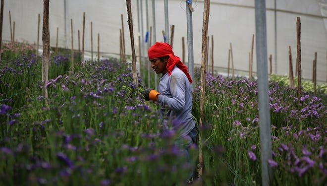 A worker at the Valleflor flower factory in Pifo, Ecuador, on June 26.