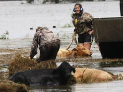 Shelly Henson, left, and Kristen Scarabin try to rescue cattle from floodwaters after Hurricane Isaac came through Plaquemines Parish, La.