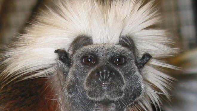 A tamarin monkey.
