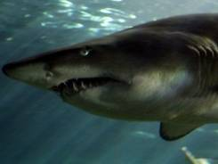 Australia has more than 160 species of shark.