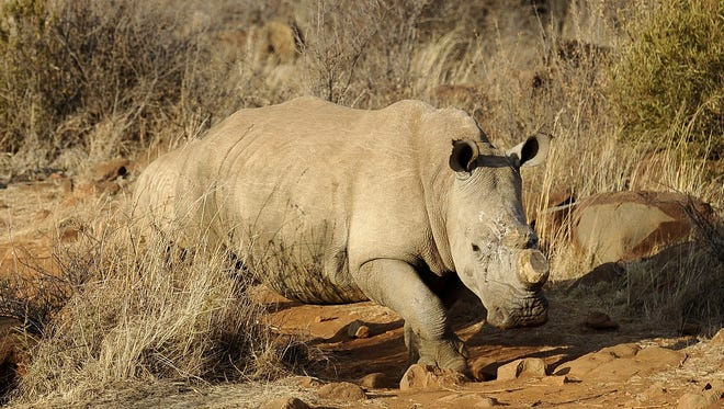A black dehorned rhinoceros walks at the Bona Bona Game Reseve, southeast of Johannesburg, on Aug. 3