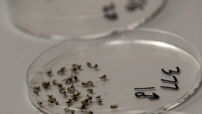 Dead mosquitos are lined up waiting to be sorted at the Dallas County mosquito lab.