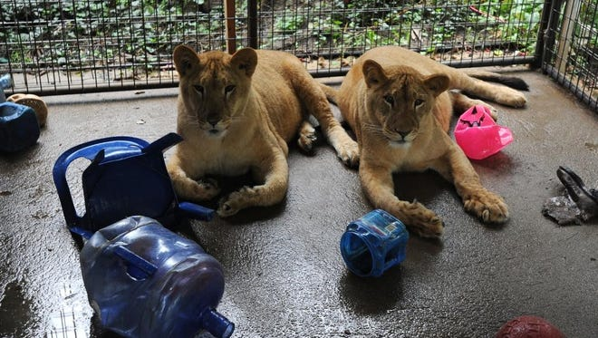 Thirteen-month-old lionesses Naudia and Zaria rest in their cage outside the home of John Moore and Tessa Craig.