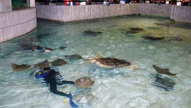 "A diver swims with rays, sharks and turtles in the  ""Wings Under the Sea"" exhibit, at the National Aquarium in Baltimore."