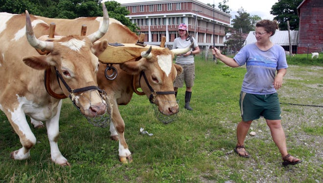 In this 2009 file photo, oxen Bill and Lou head out to work in the field on the Green Mountain College campus farm in Poultney, Vt.