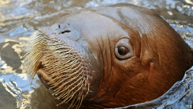 Mitik, an orphaned Pacific walrus calf rescued off the coast of Alaska, popped up for a photo Oct. 15 at the New York Aquarium on the Coney Island boardwalk in Brooklyn. Hurricane Sandy flooded the aquarium.